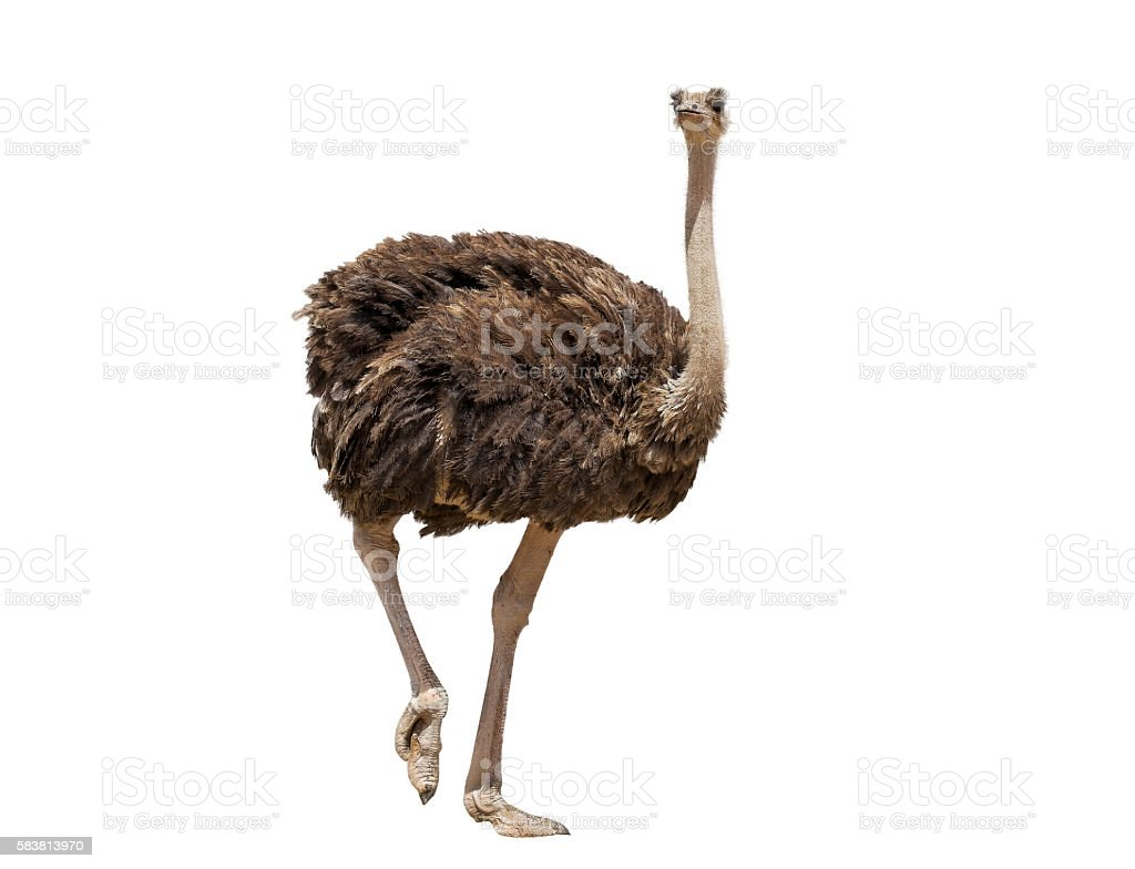 beautiful ostrich isolated stock photo