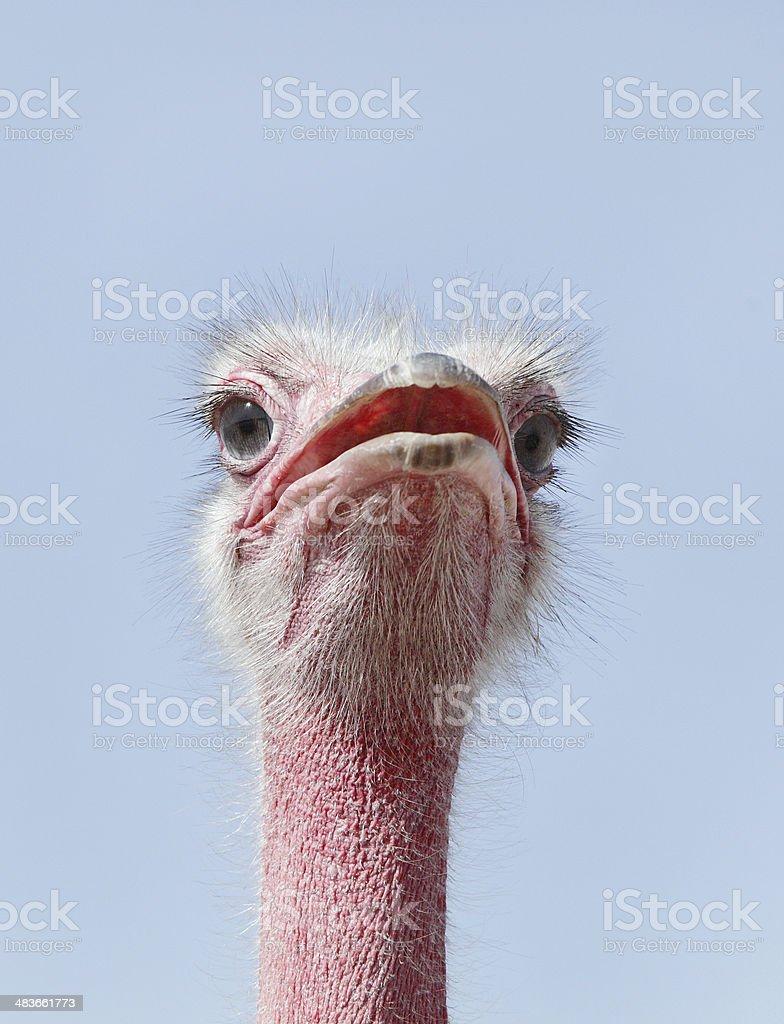Beautiful Ostrich staring at camera royalty-free stock photo