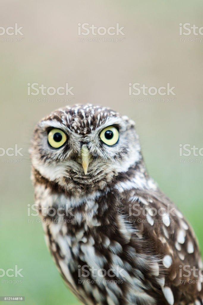 beautiful owl - Athene noctua, Litlle owl stock photo