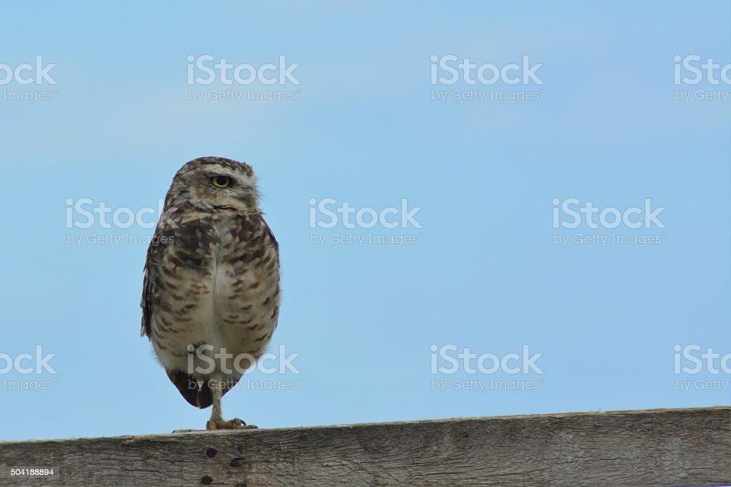 beautiful owl stock photo