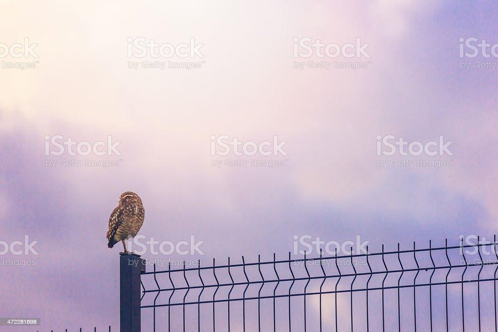 Beautiful owl waiting overnight under violet sky. stock photo