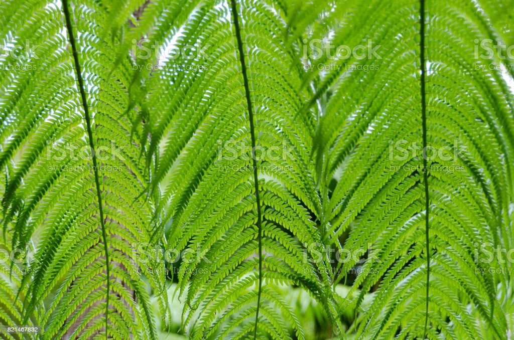 Beautiful patterns created by giant fern leaves in forest near Kilauea crater, Big Island, Hawaii stock photo