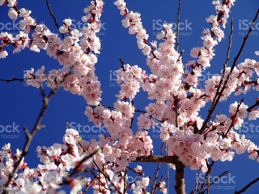 Beautiful peach blossom on a clear blue sky background royalty-free stock photo