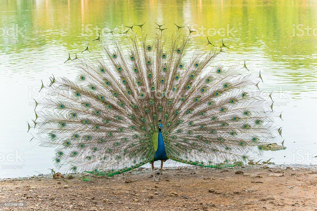 Hermoso pavo real pájaro caminar a orillas del río foto de stock libre de derechos