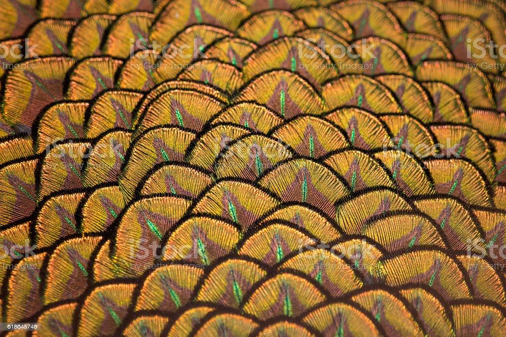 Plumes de paon magnifique photo libre de droits