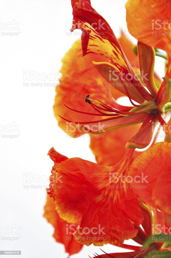 beautiful Peacock Flower on white background  in Thailand stock photo