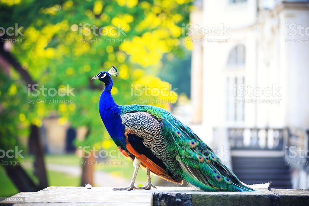 Beautiful Peacock In Palace Garden stock photo