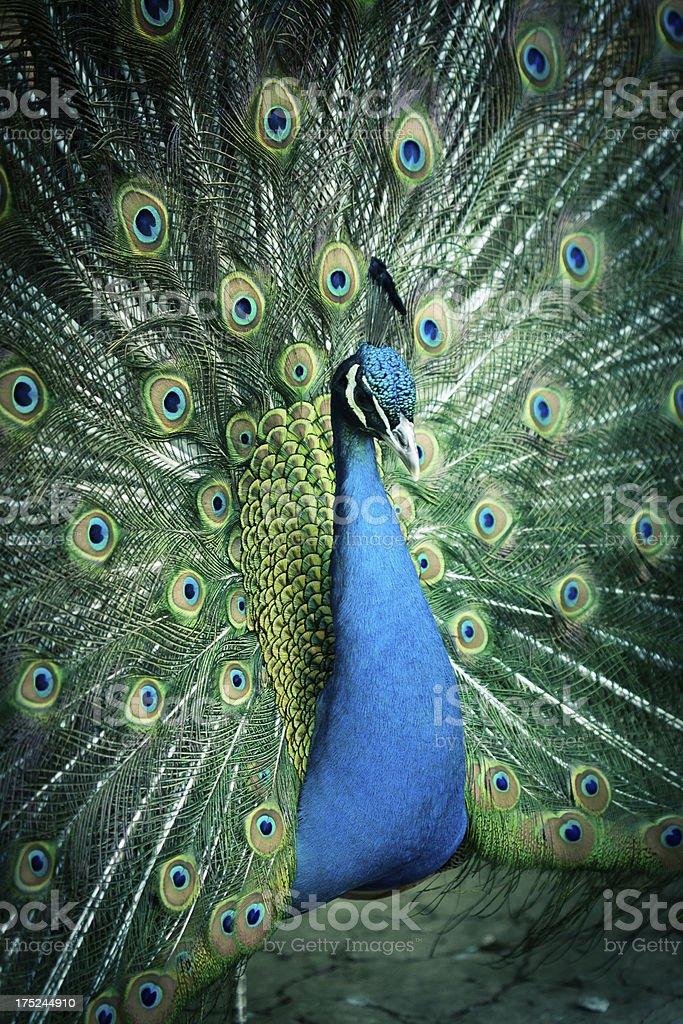 beautiful peacock royalty-free stock photo