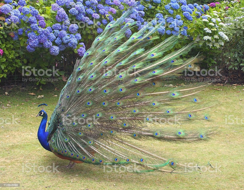 Beautiful Peacock showing full plumage side view royalty-free stock photo