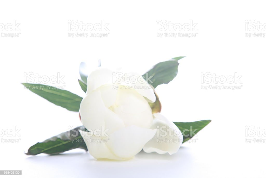 Beautiful peony with leaves stock photo
