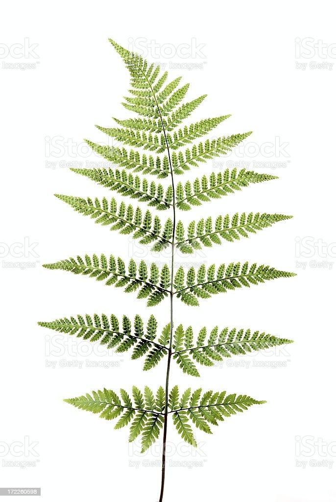 Beautiful perfect fern royalty-free stock photo