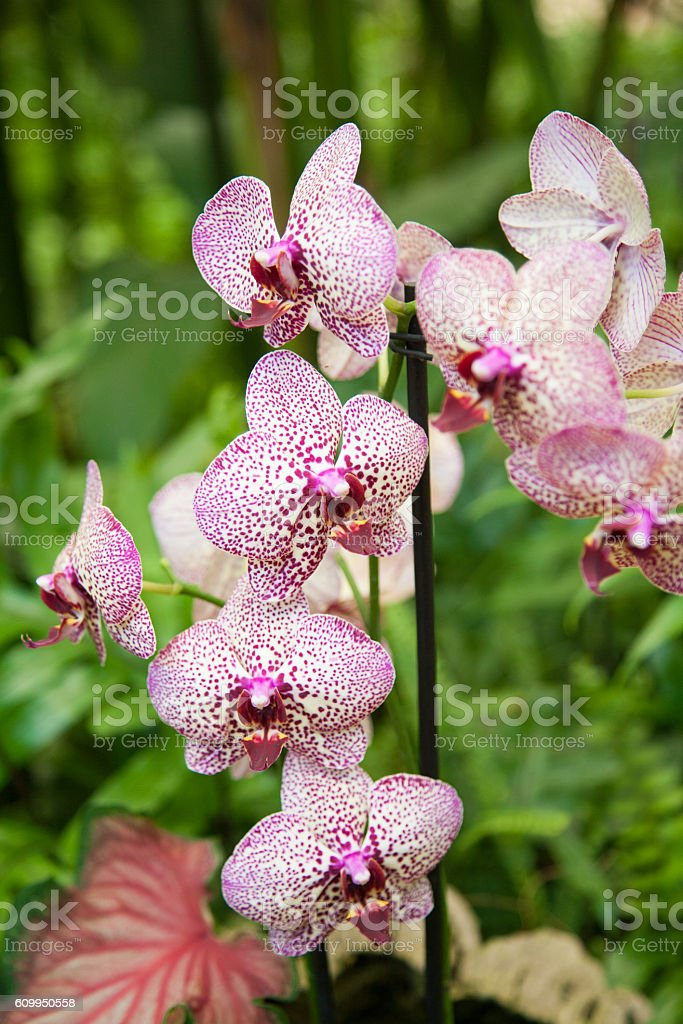 beautiful Phalaenopsis orchid flower stock photo