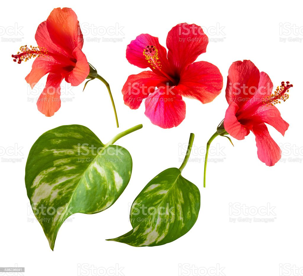 Beautiful photo of hibiscus flowers and tropical leaves. stock photo