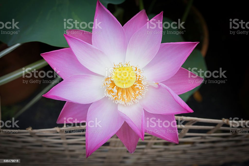 Beautiful picture of Lotus flower and Lotus flower plants royalty-free stock photo