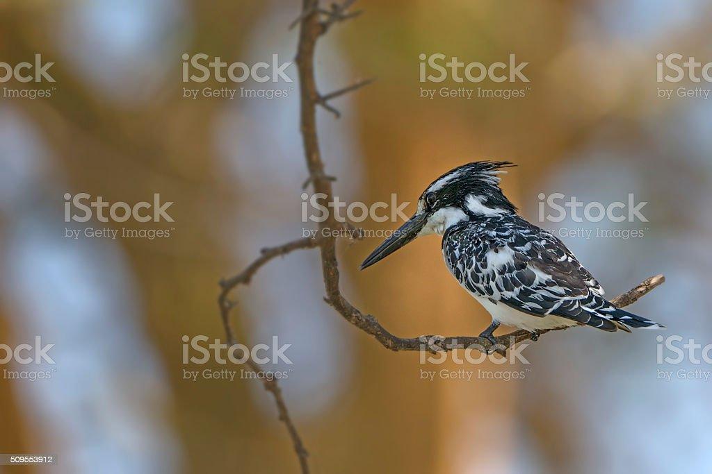 Beautiful  pied kingfisher (Ceryle rudis) stock photo