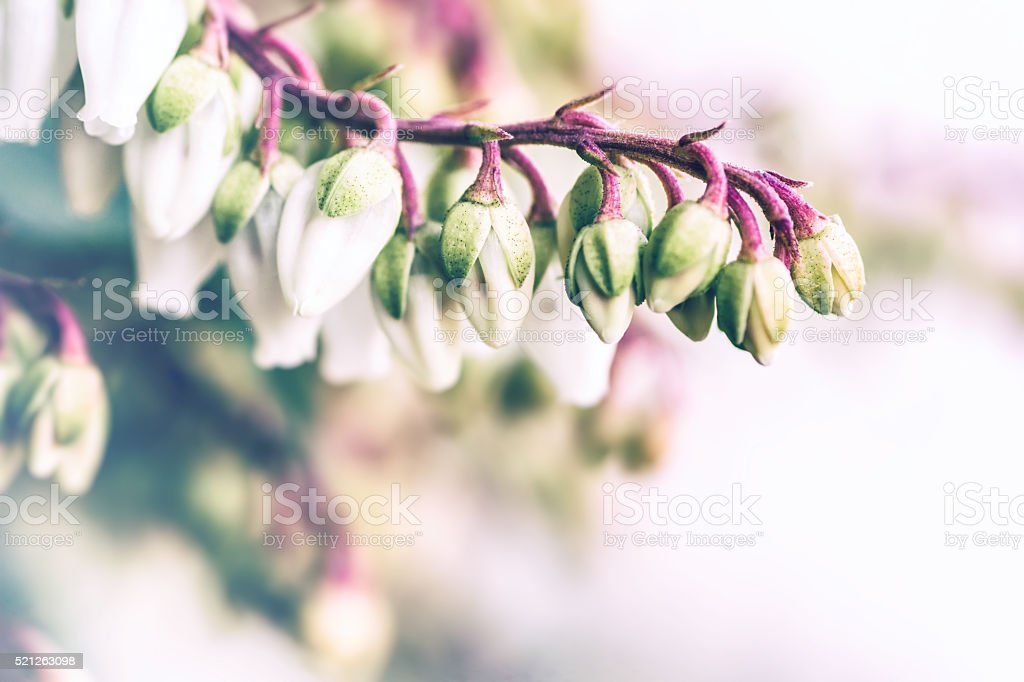 Beautiful Pieris Japonica small white flowers close-up blossoming in spring stock photo