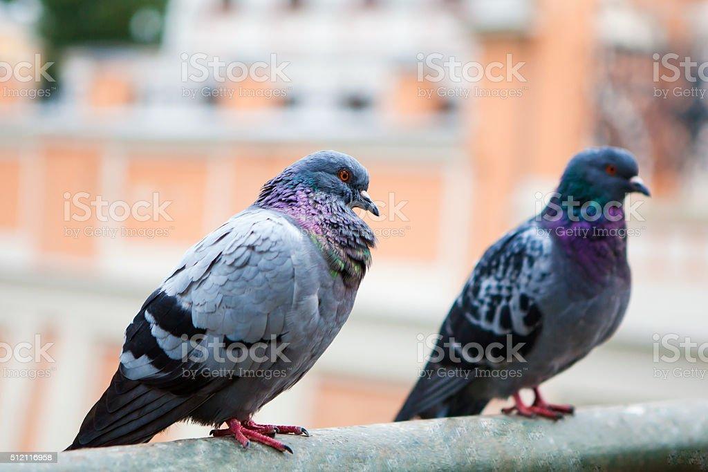 Beautiful pigeon close up stock photo