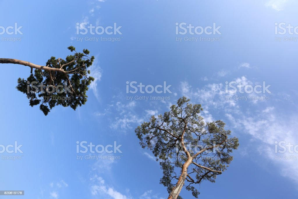 Beautiful pine tree with blue sky stock photo