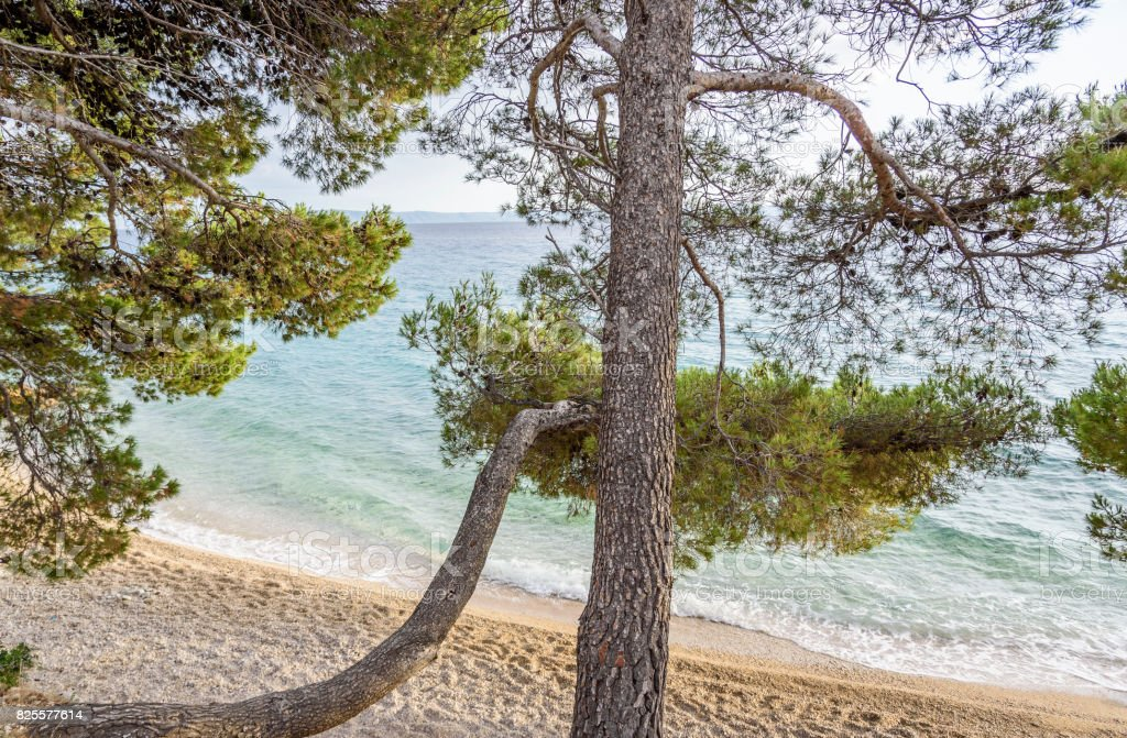 Beautiful pine trees and the shore of the blue sea in the evening....