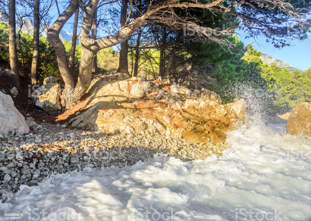 Beautiful pine trees and the shore of the blue sea in the evening. Croatia stock photo