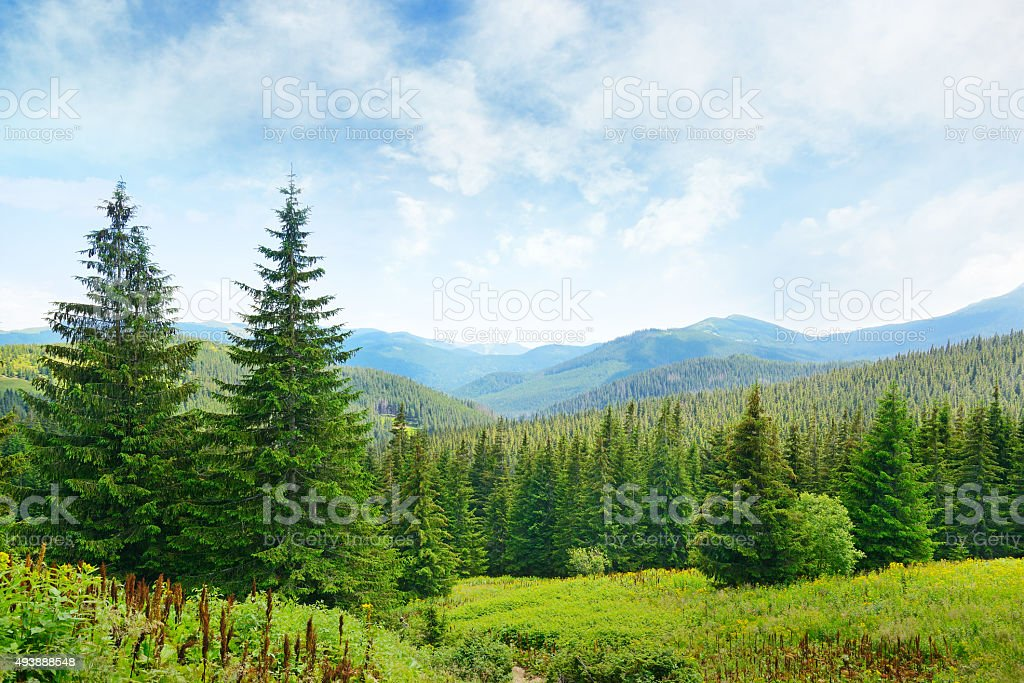 Beautiful pine trees on background high mountains. stock photo