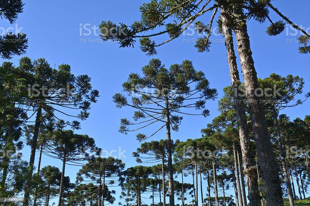 Beautiful pines stock photo