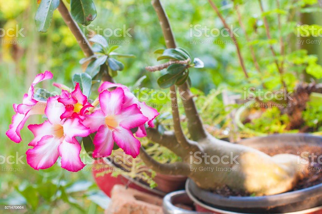 Beautiful Pink Adenium obesum. stock photo