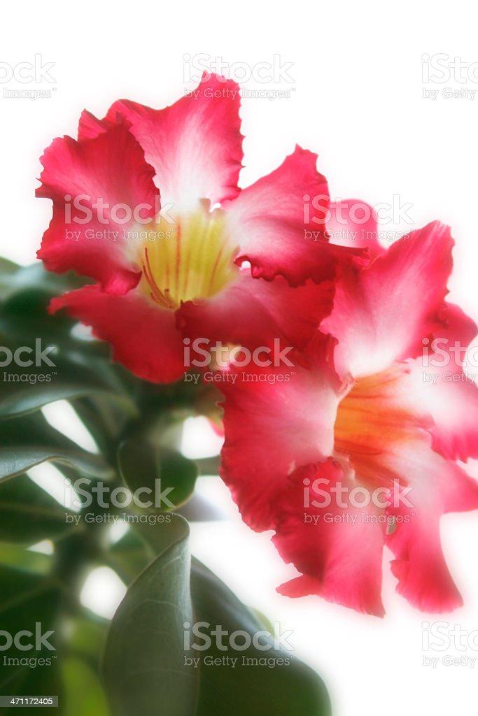 Beautiful Pink Adenium stock photo