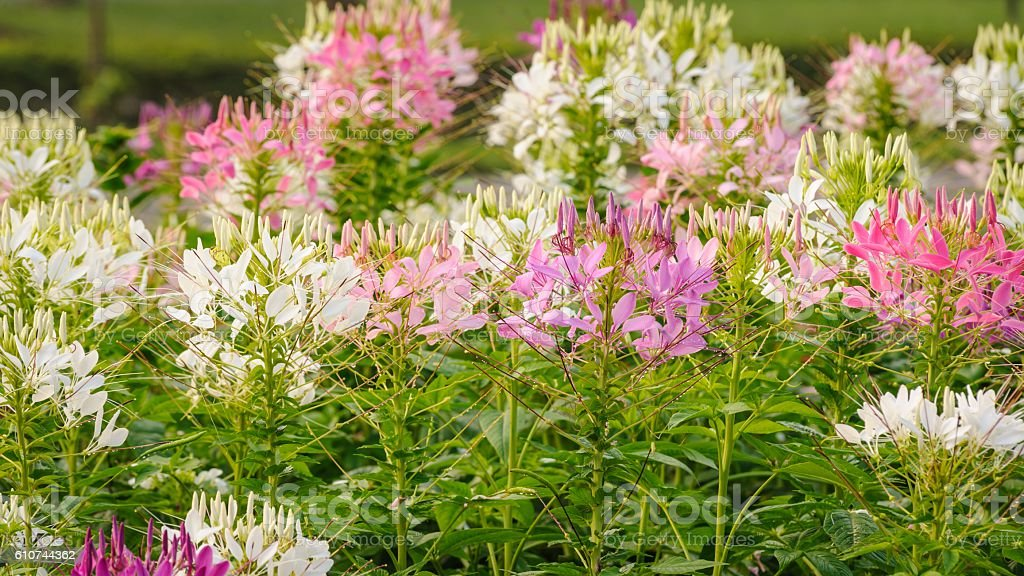 Beautiful pink and white spider flower in the garden. stock photo