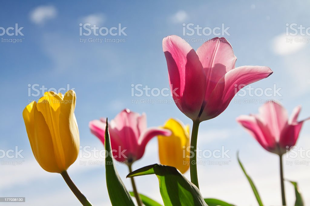 Beautiful pink and yellow tulip flower royalty-free stock photo