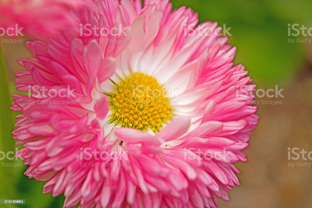 Beautiful pink asters. Nature background. stock photo