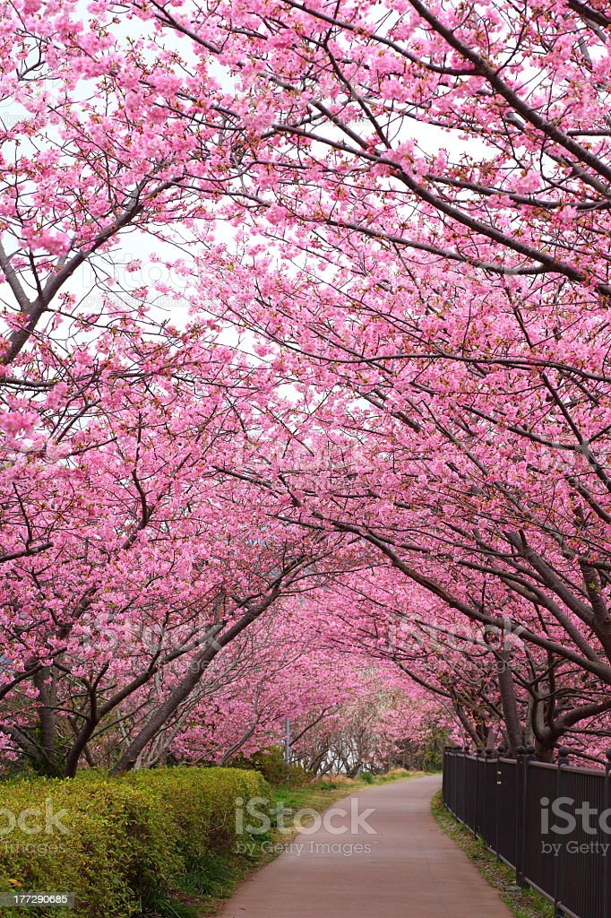 Beautiful pink blossoming trees lining a Sakura path stock photo