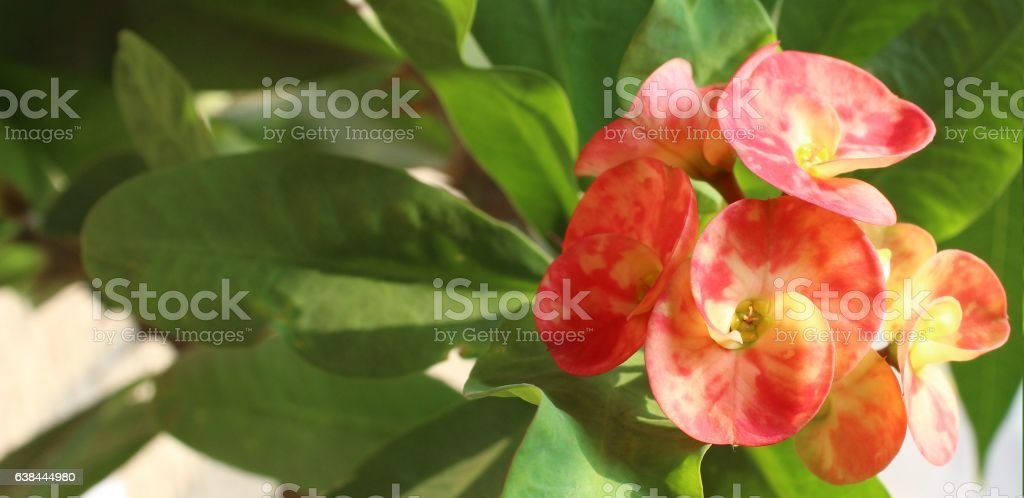 Beautiful pink cactus flowers stock photo
