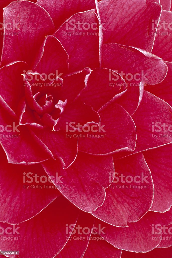 Beautiful Pink Camellia, Extreme Close-Up, Single Flower, Petals royalty-free stock photo