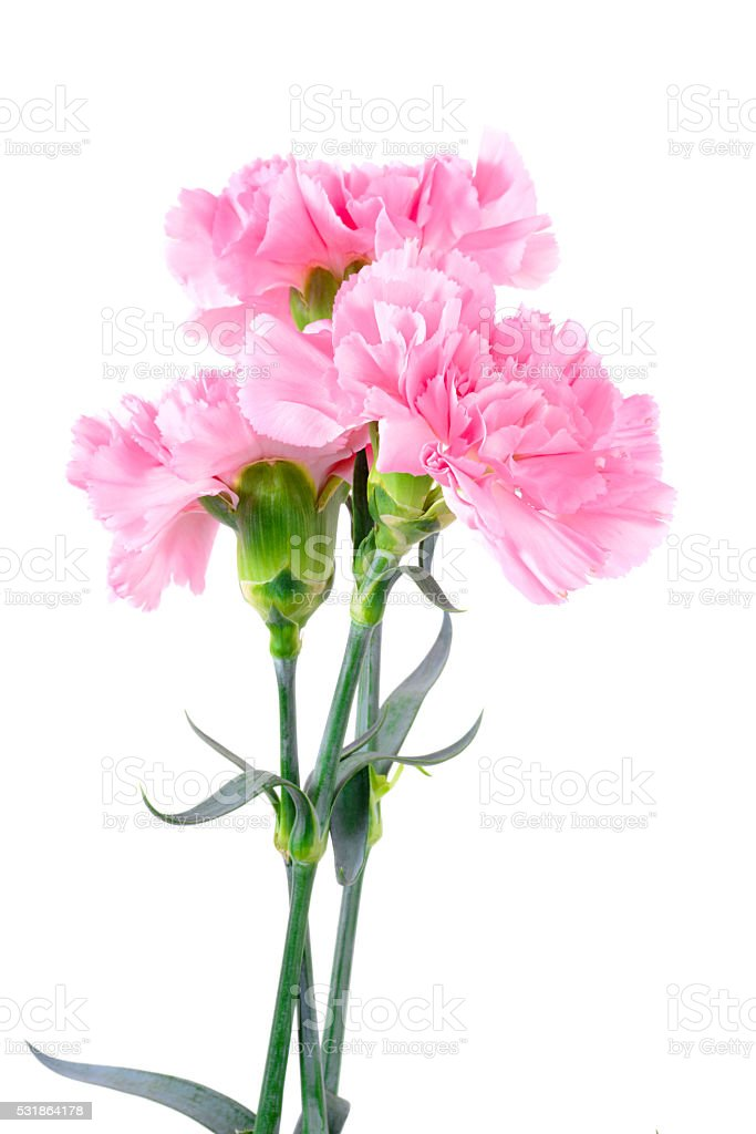Beautiful pink Carnation flowers stock photo