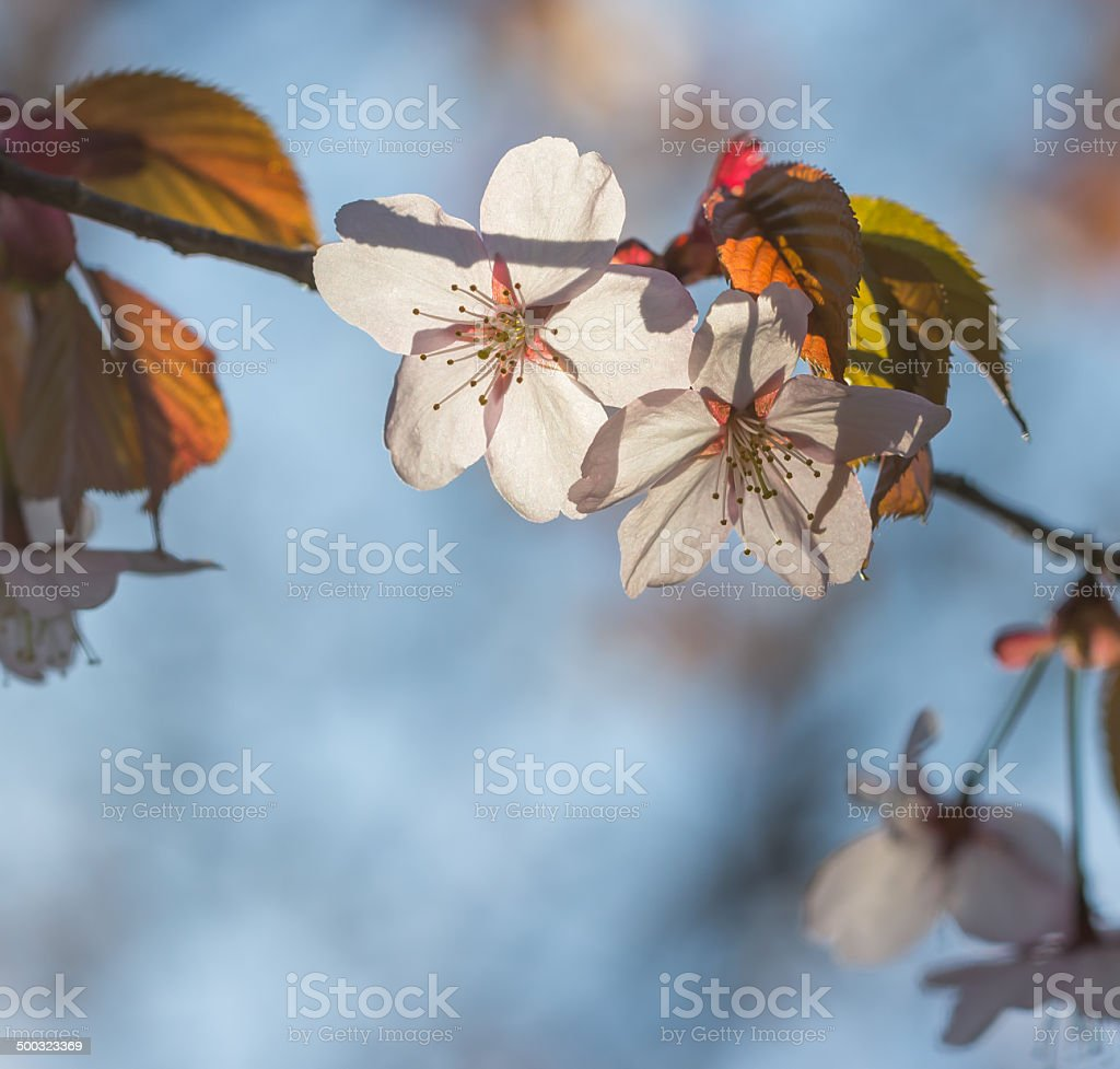 beautiful pink cherry blossom and leaf with blue sky stock photo