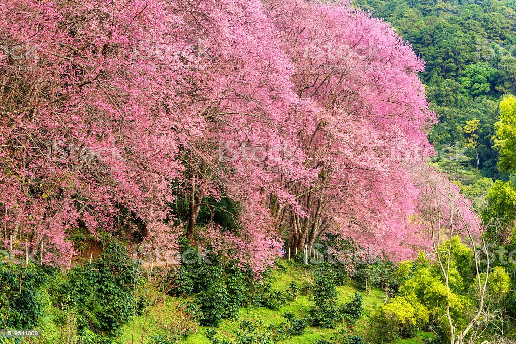 Beautiful pink cherry blossom in chiang mai , Thailand stock photo