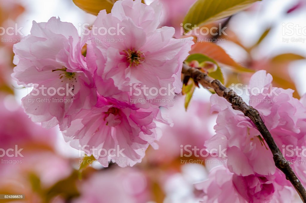 beautiful pink cherry blossom stock photo