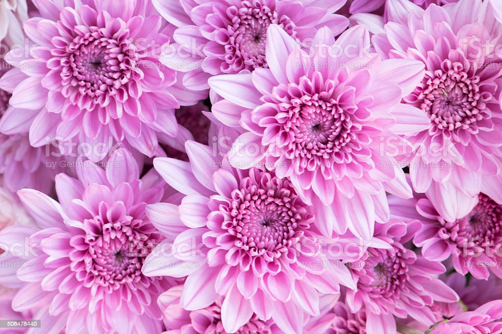 Beautiful pink chrysanthemum flowers background stock photo