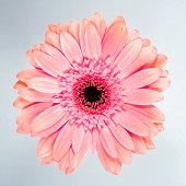 Beautiful pink chrysanthemum on white background.