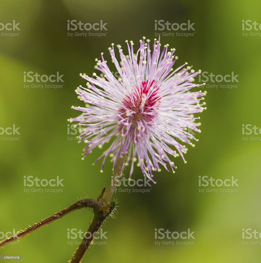 beautiful pink color of mimosa pudica or sensitive plant stock photo
