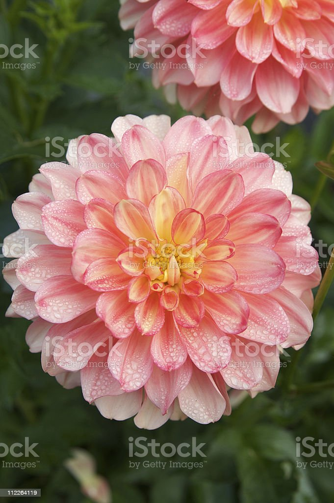 Beautiful Pink Dahlia Flowers in Bloom stock photo