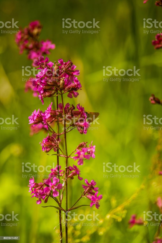 A beautiful pink flower blooming in a meadow with an orange butterfly sitting on it. stock photo