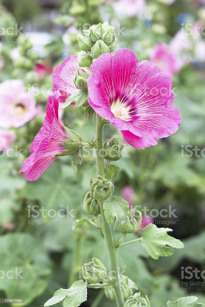Beautiful pink flower in garden stock photo