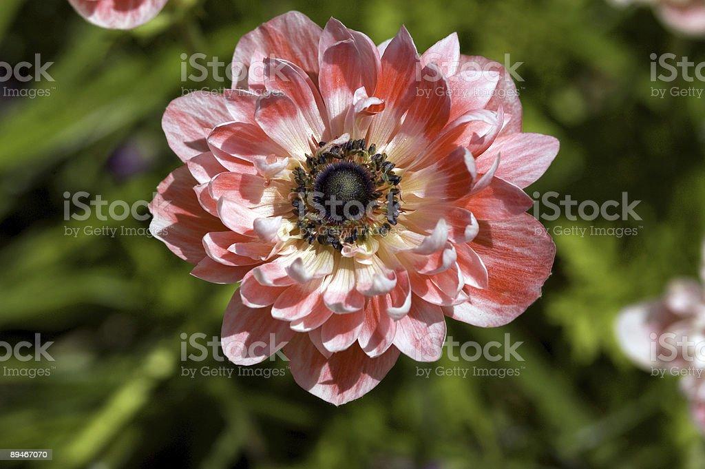 Beautiful Pink Flower royalty-free stock photo