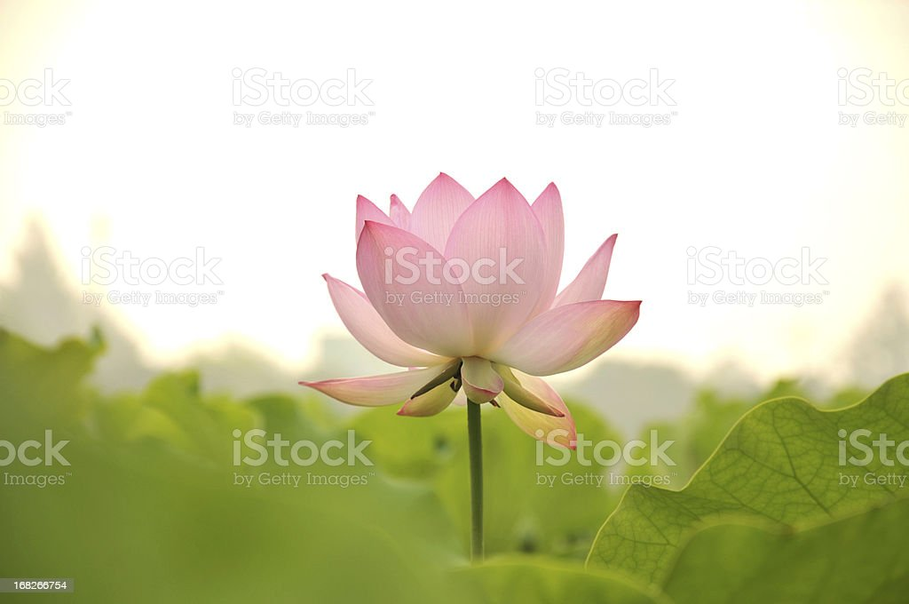 Beautiful pink flower standing alone in nature stock photo