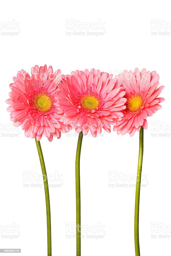 Beautiful pink gerbera flowers isolated on white stock photo