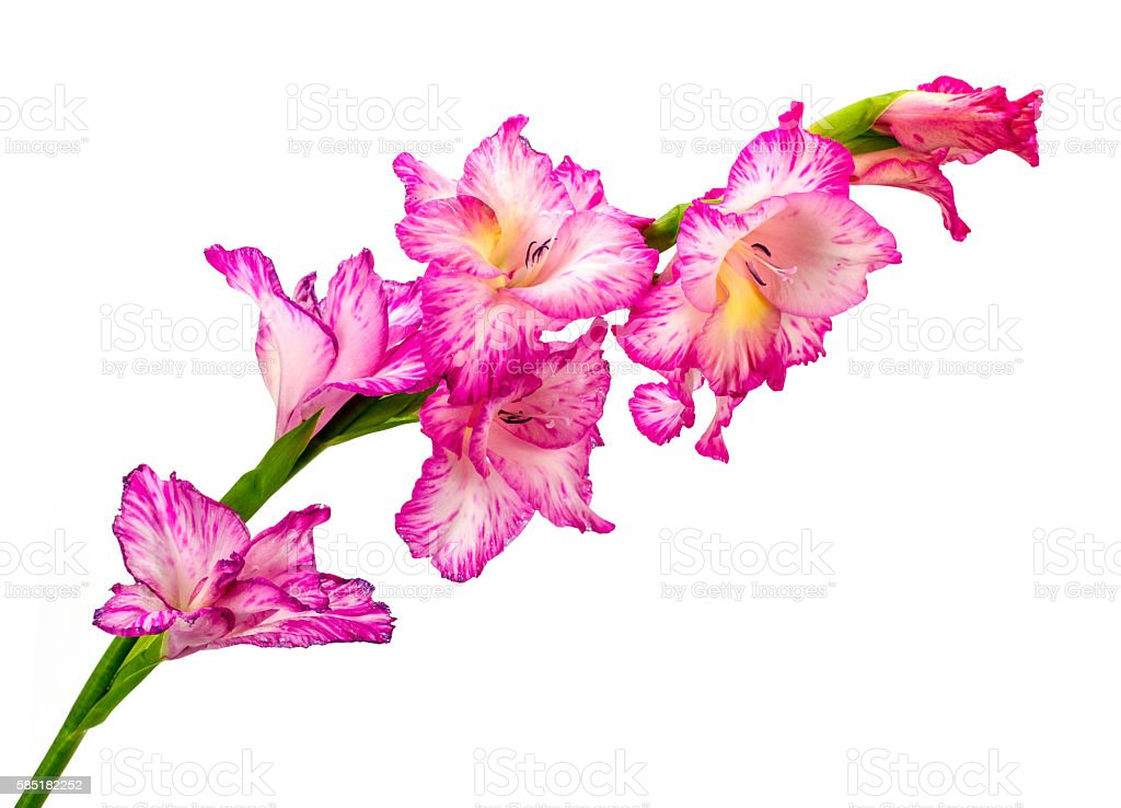 Beautiful pink gladiolus isolated on white background stock photo