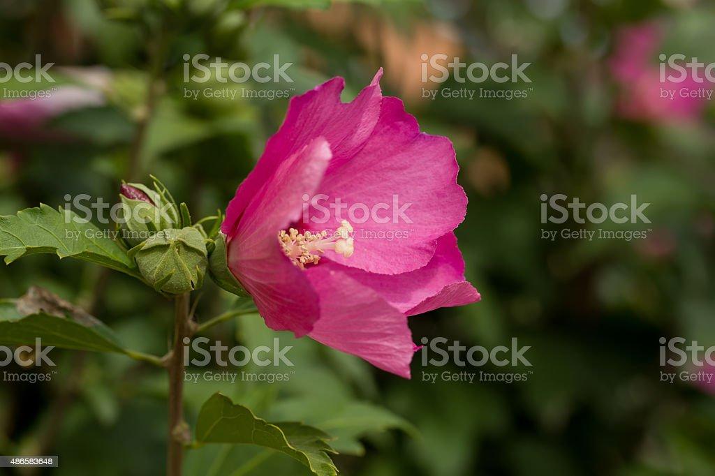 beautiful pink hibiscus in garden stock photo