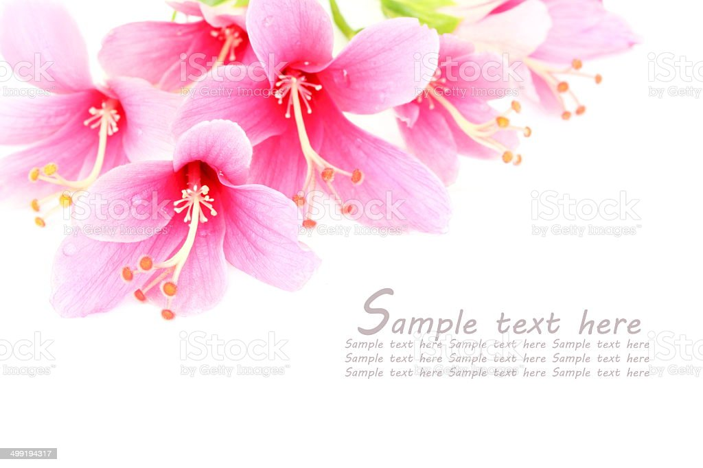 Beautiful pink Hibiscus or Chinese rose flower. stock photo